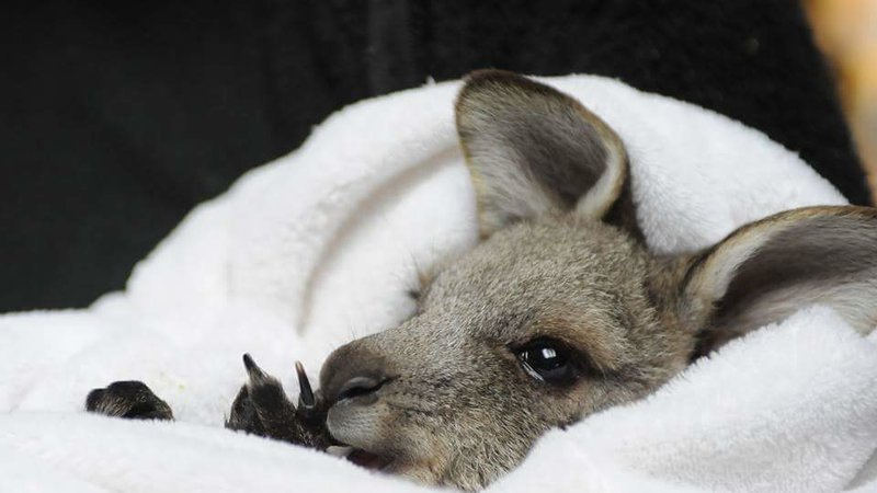 Rescued Joey at Kangaroo Sanctuary