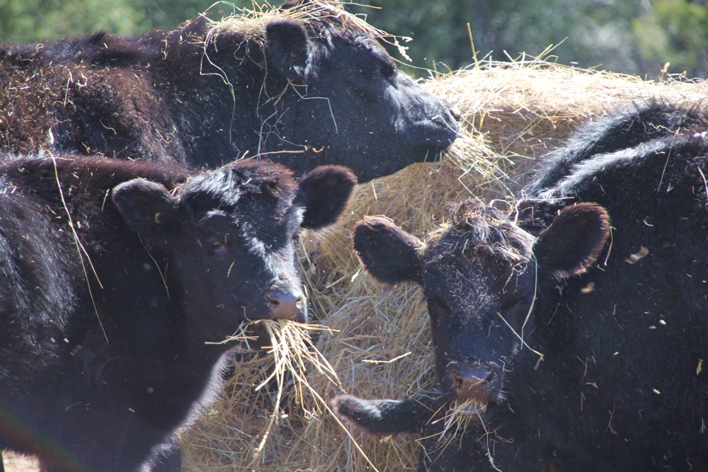 Cows-Eating-Hay-1000x667