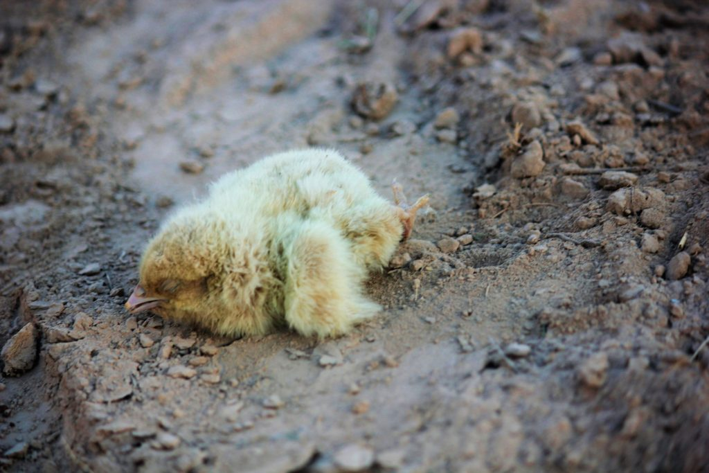 Truckload of one-day-old chicks buried alive in 'clean-up' after crash on Burley Griffin Way – 5 April 2018