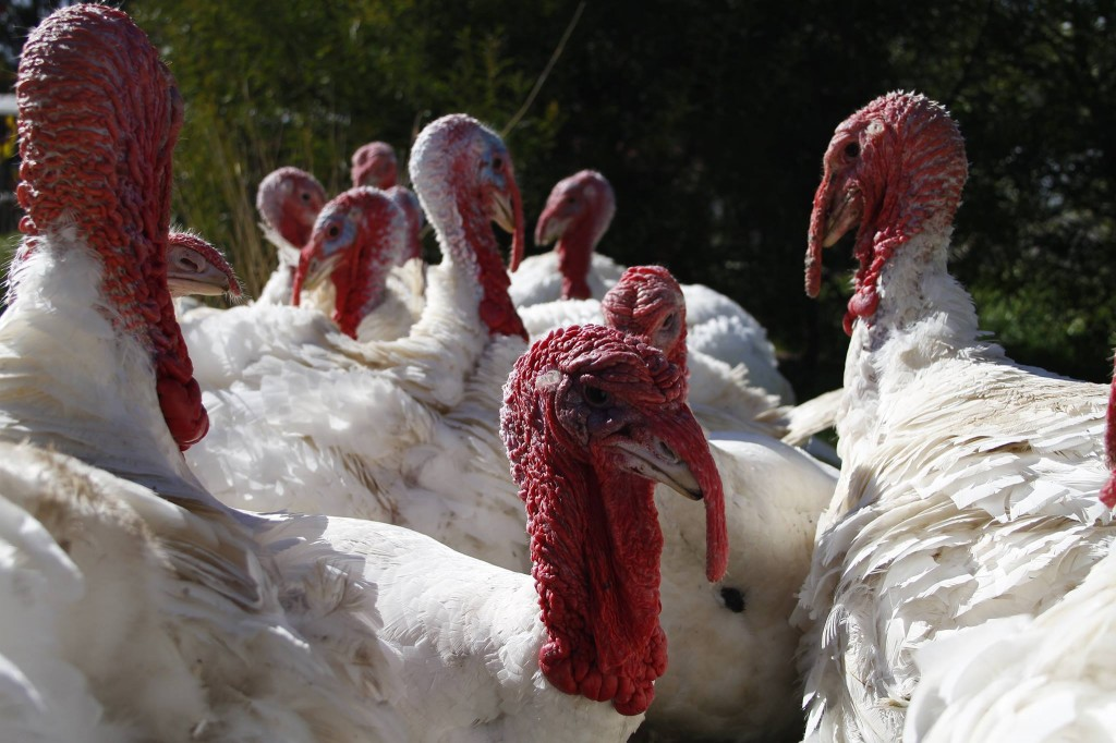 Pay Tribute to Turkeys – The Heart-Wrenching and Heart-Warming Truth