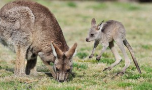 ALACT Demonstration Against Kangaroo Cull – Friday, 19 June 2015