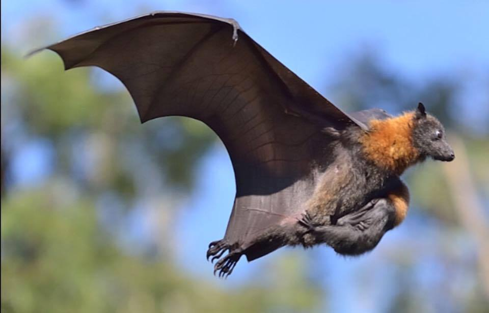 Sign petition to protect native flying foxes