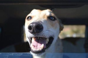Become a Foster Carer for Greyhounds