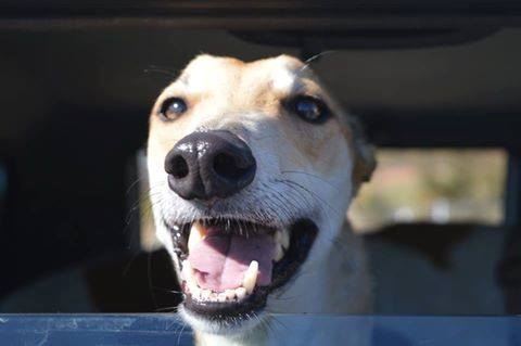 Greyhound Foster Carers Needed